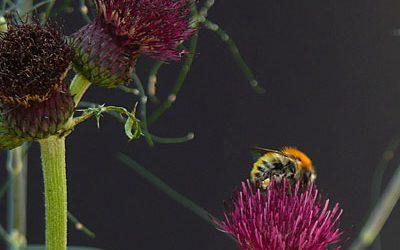 Red de vlinder- en bijenstand. Doe mee!